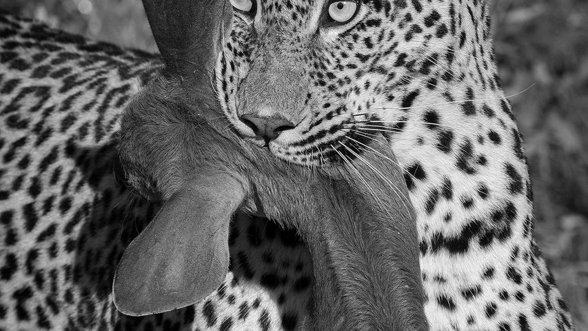 A leopard with a bushbuck in its mouth