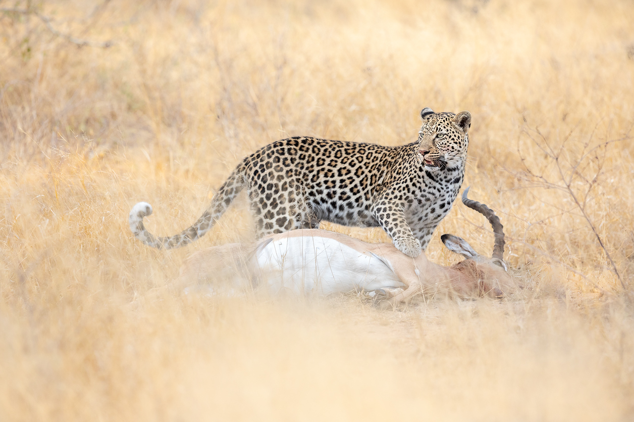A leopard with an impala kill