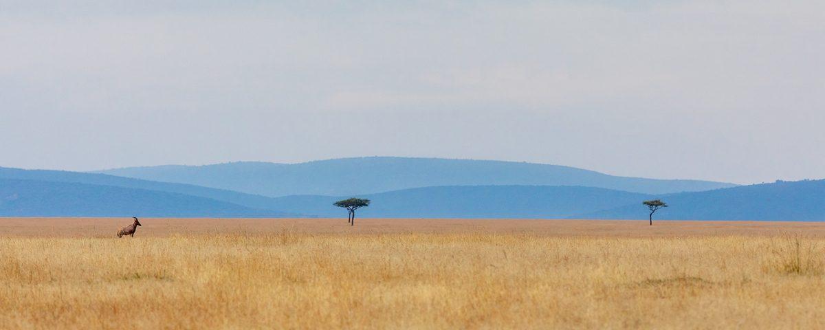 Antelope in grassland, Maasai Mara