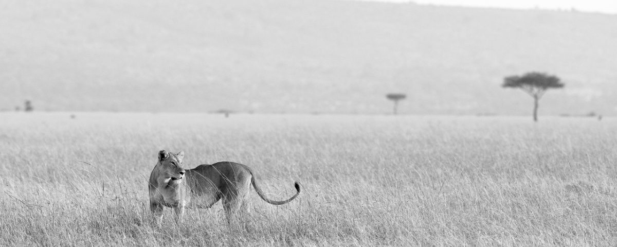 Black and white, lioness in grassland