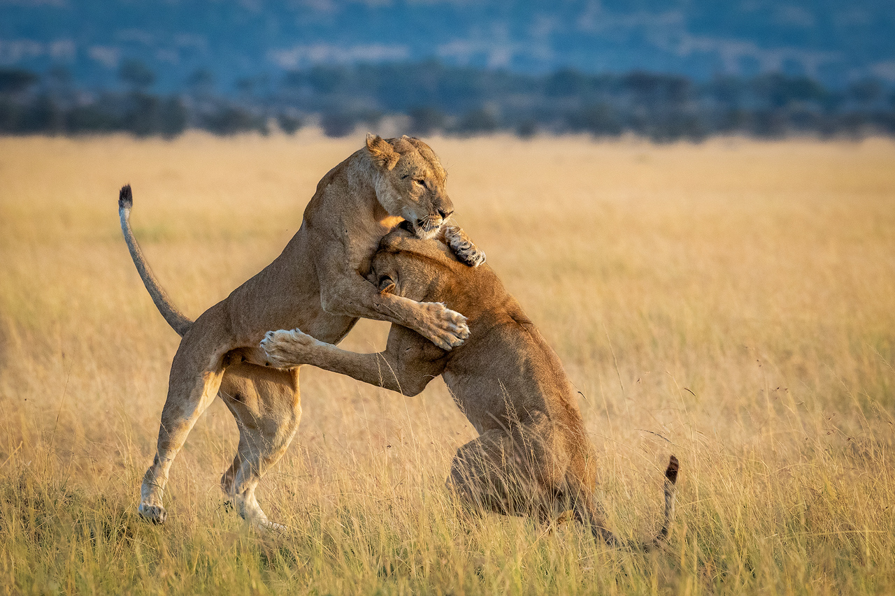 Two lions play on an open plain