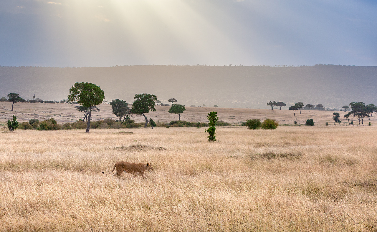 A lioness walking in long grass