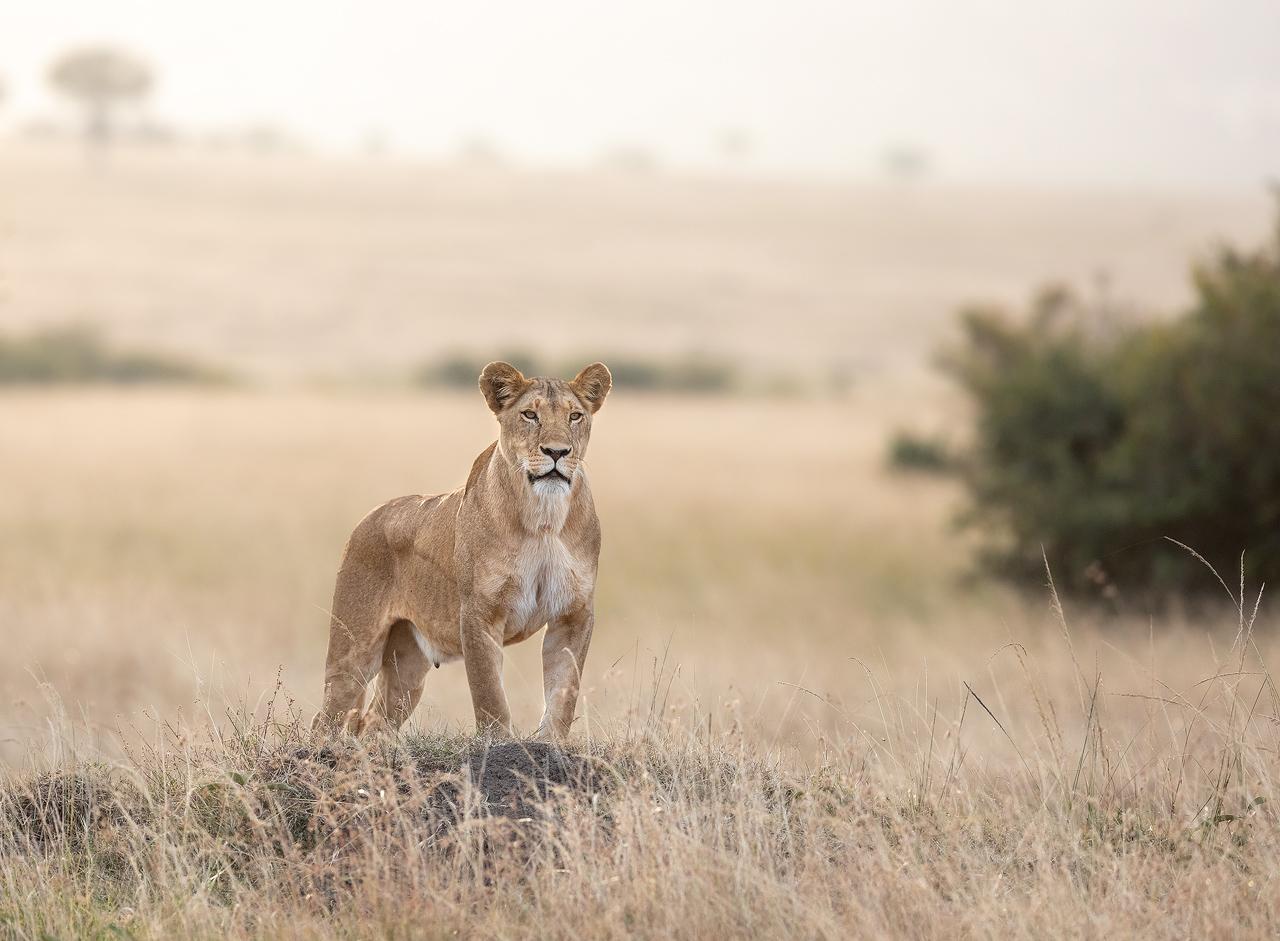An alert lioness, Maasai Mara