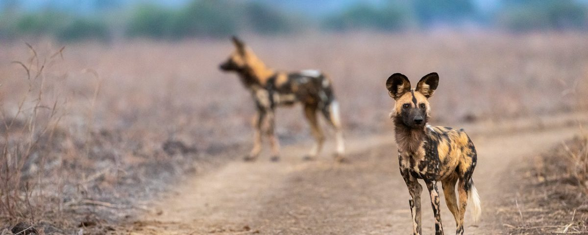 Two African wild dogs on a dirt track