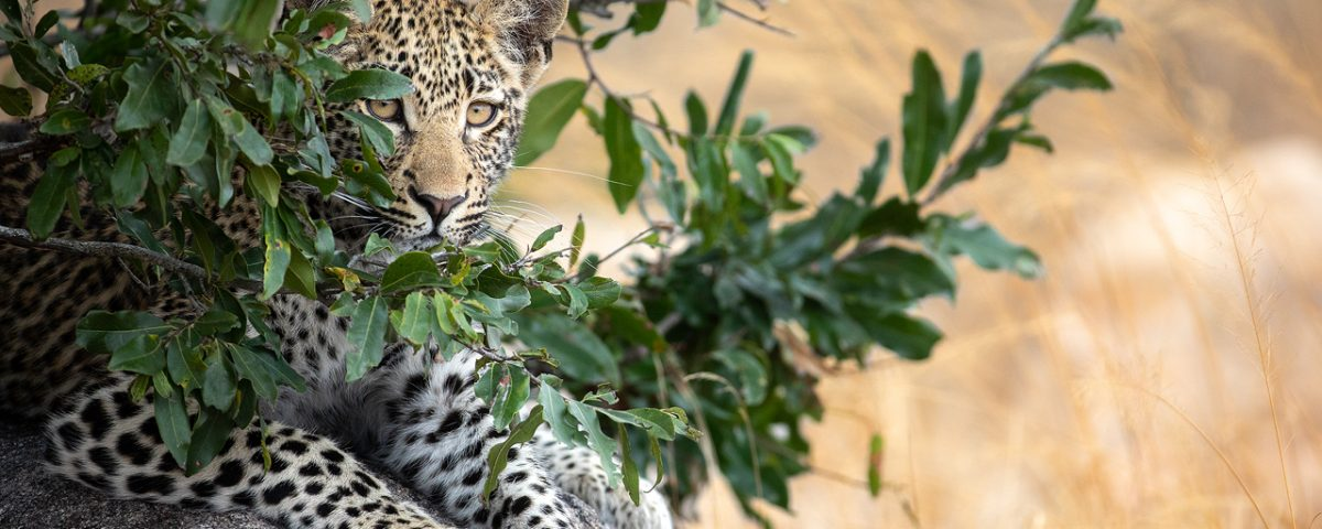 A leopard cub obscured by leaves
