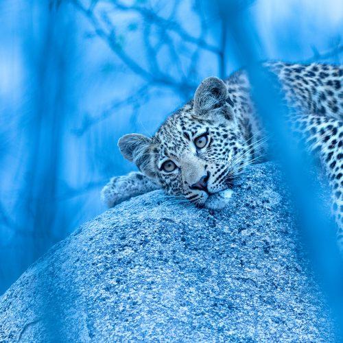 A leopard cub lying on a rock