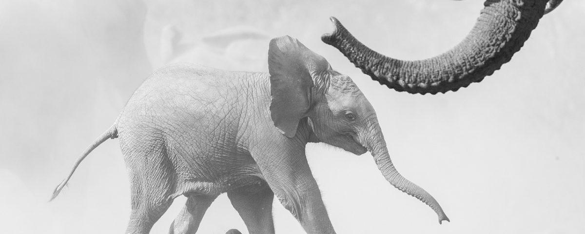 Black and white elephant calf running