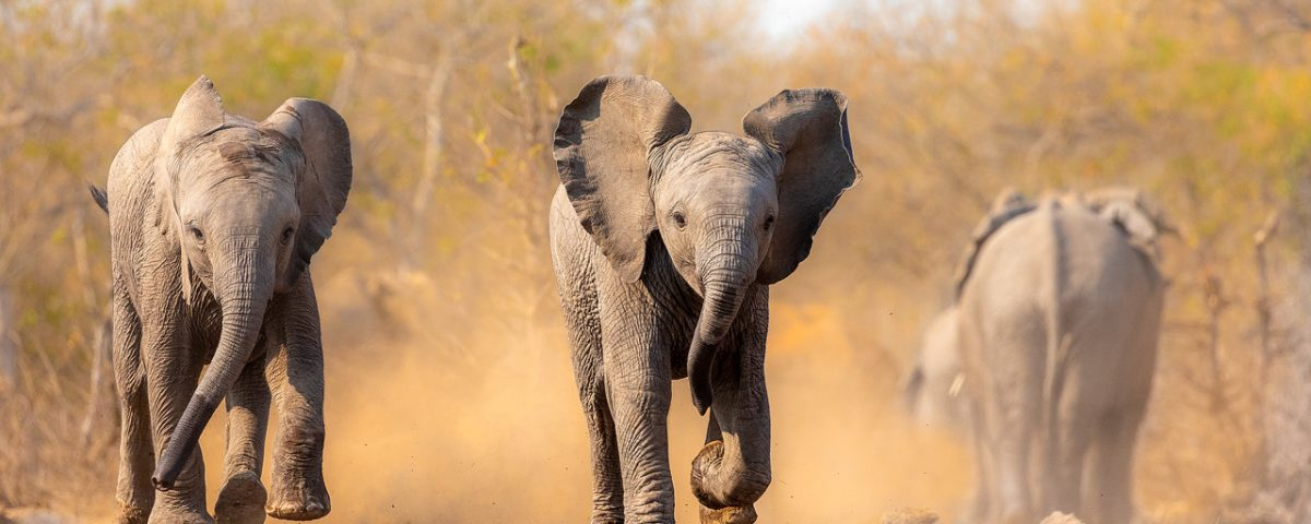 Two baby elephants running with orange dust