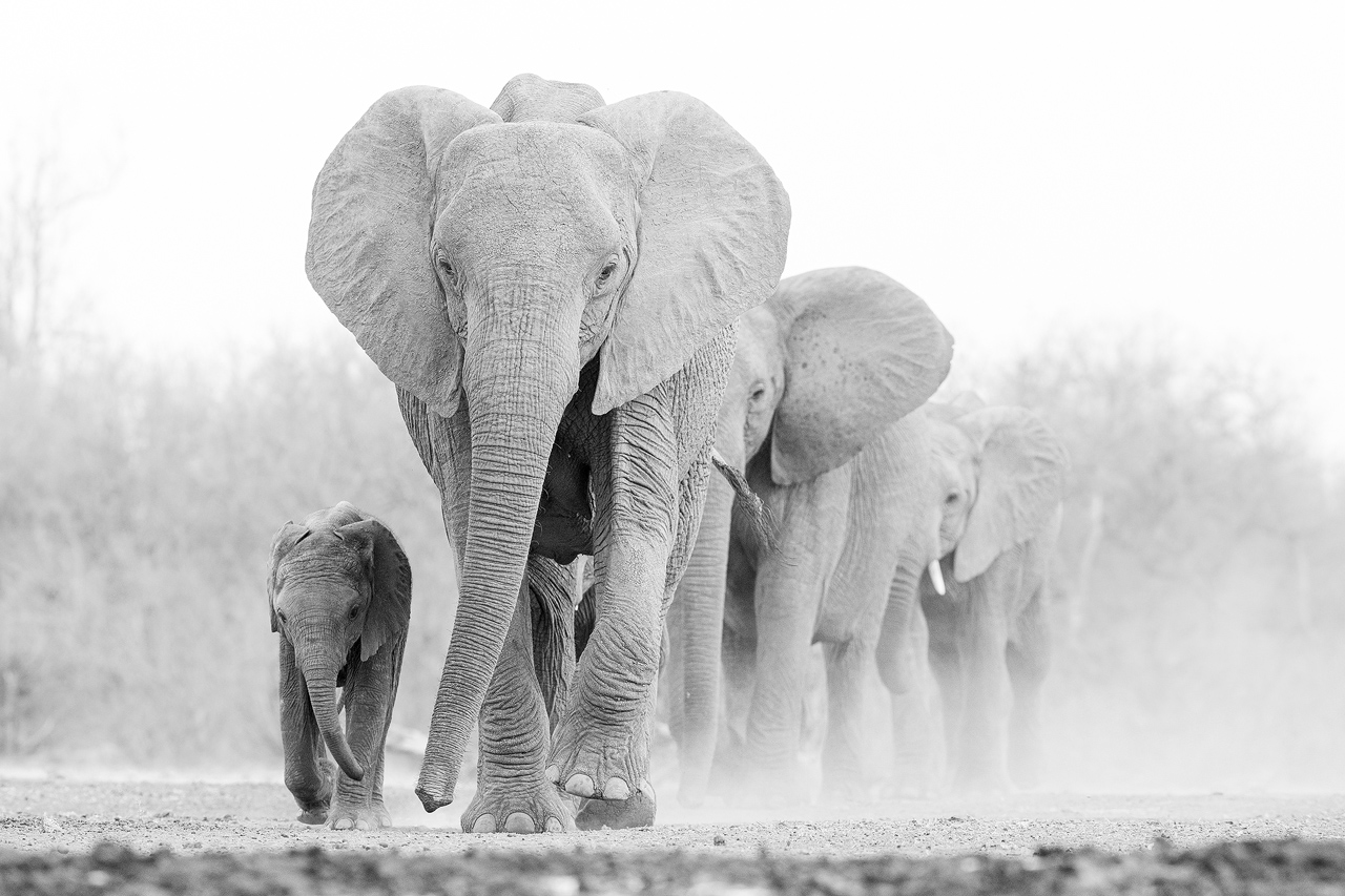 Black and white, elephants walk towards camera