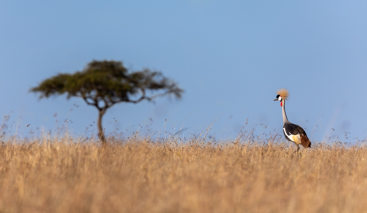A crowned crane in long yellow grass