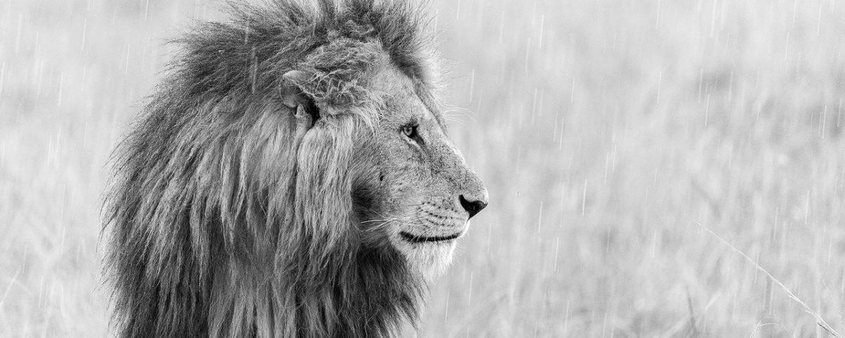 Male lion in pouring rain