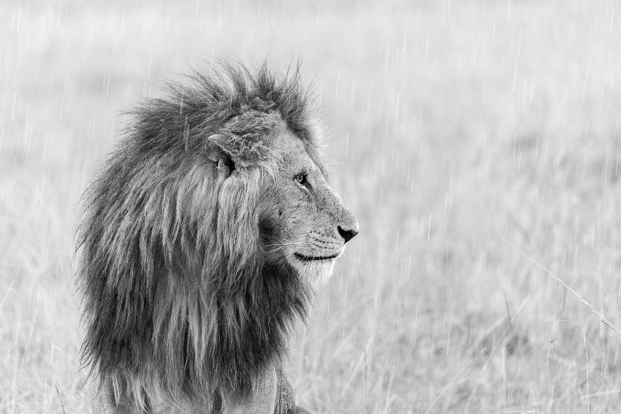Male lion in pouring rain