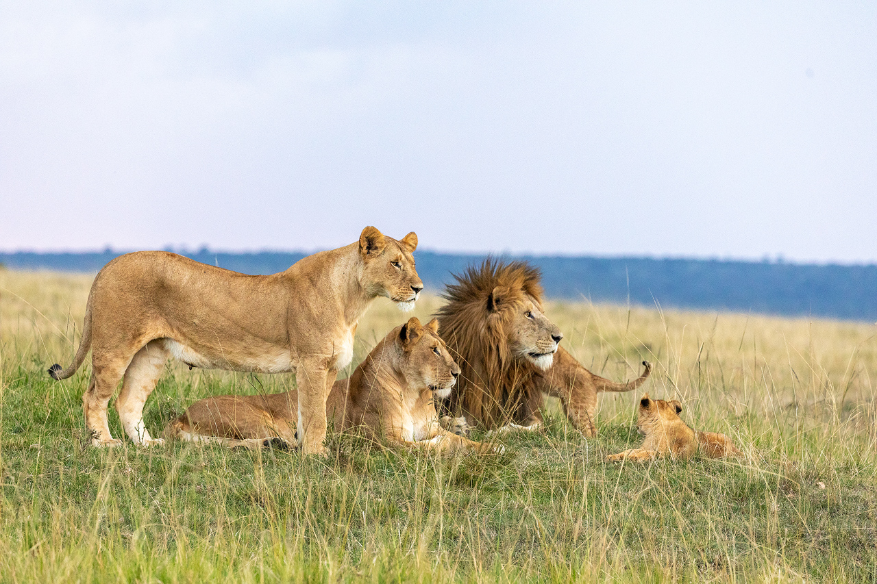 3 lions and 2 cubs on a grassy plain