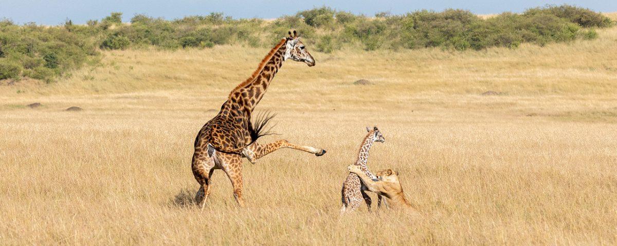 A lion attacks a baby giraffe