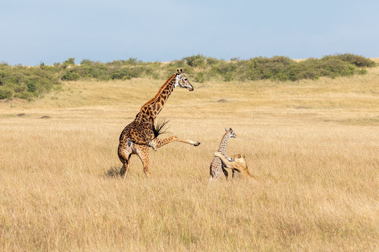 A lion attacks a baby giraffe