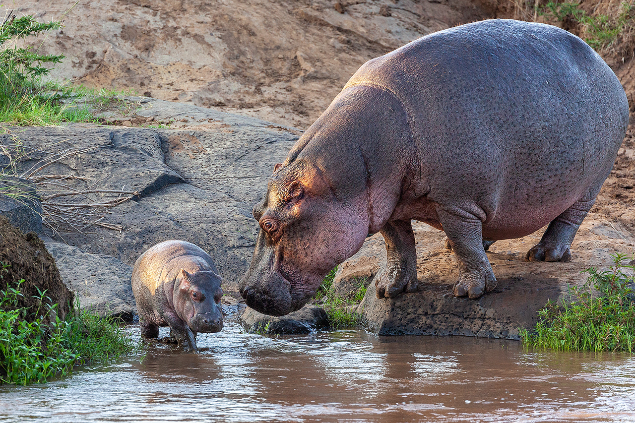 Female hippo looks at baby