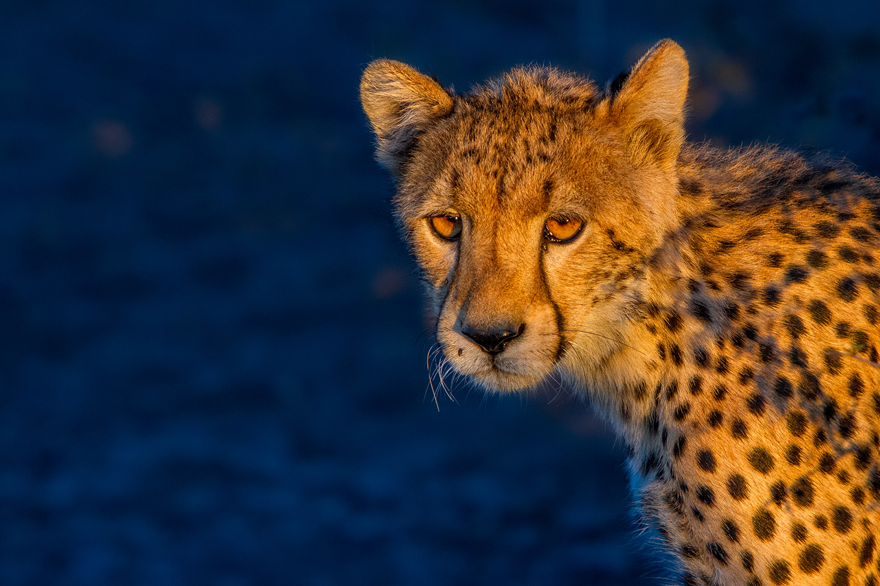 A cheetah against a blue background