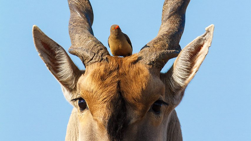 A red billed oxpecker between the horns of an eland