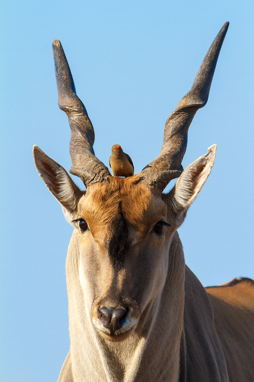 A red billed oxpecker between the horns of an eland