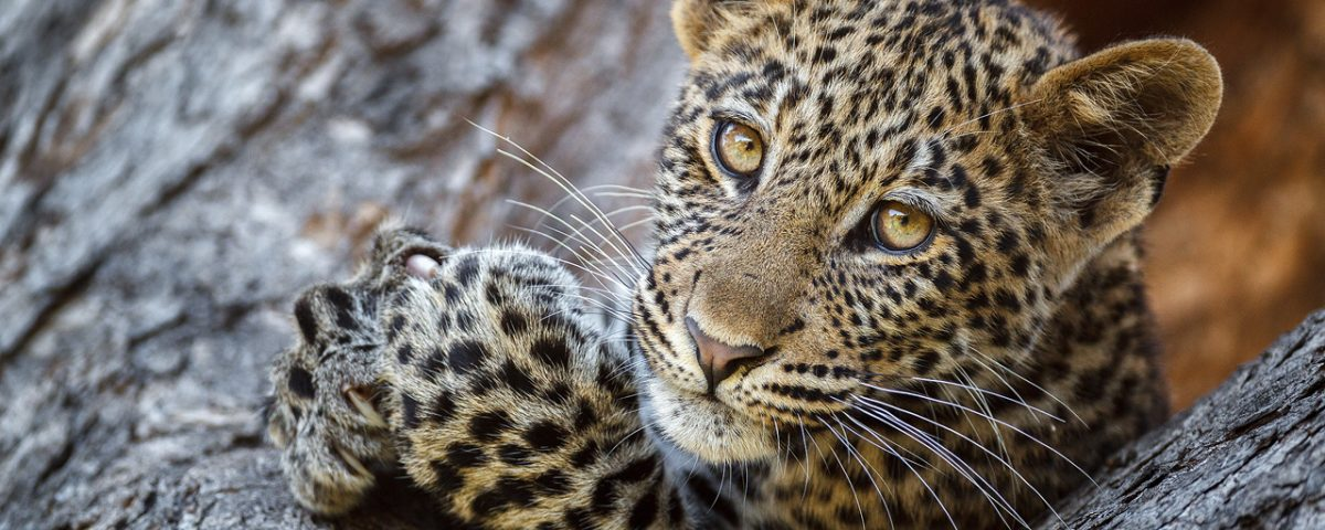 A leopard cub in a tree looks into the camera