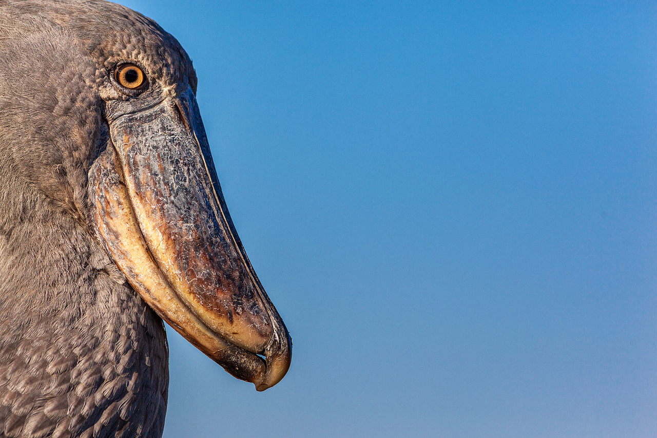 A shoebill stork against a blue sky
