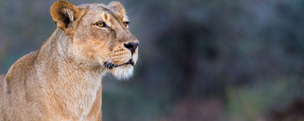 Lioness looking into the distance