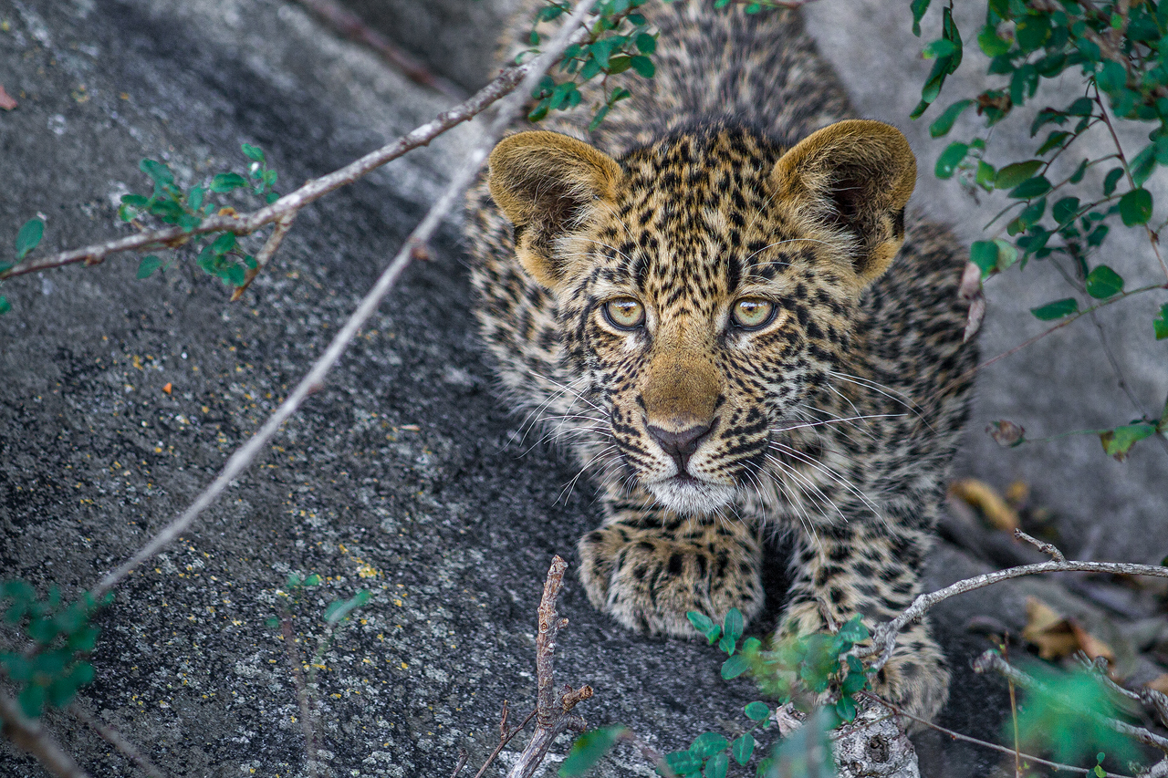A cute leopard cubs looks interested in something