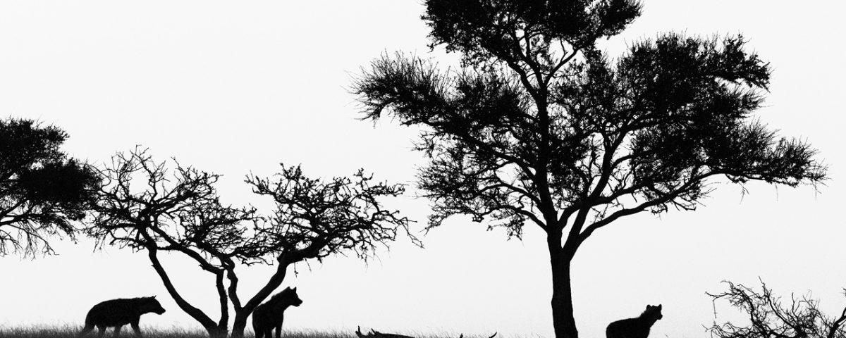 Black and white hyena silhouette