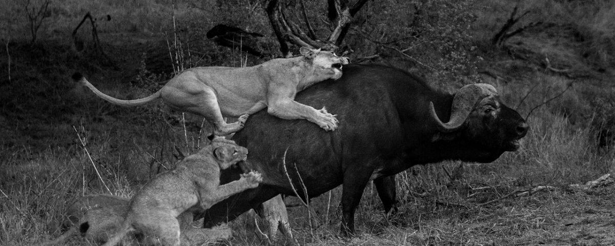 Lions attacking a buffalo