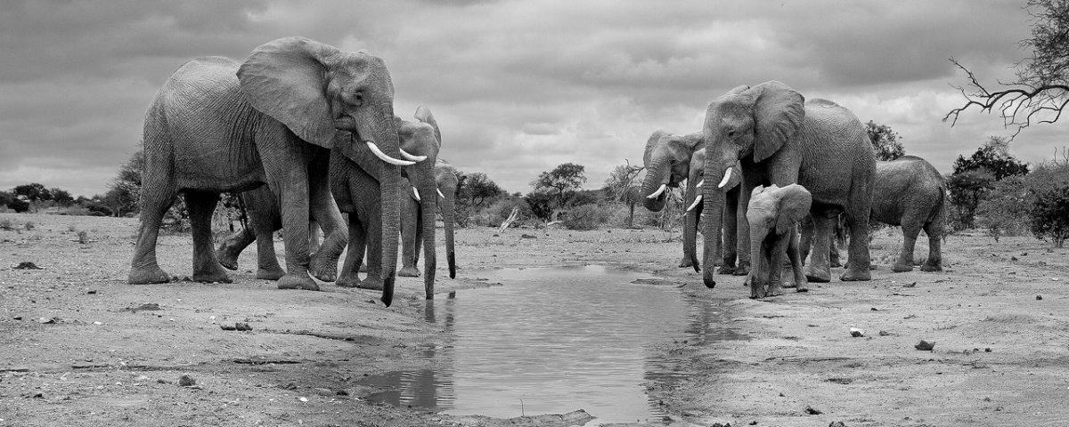 Herd of elephants at a waterhole