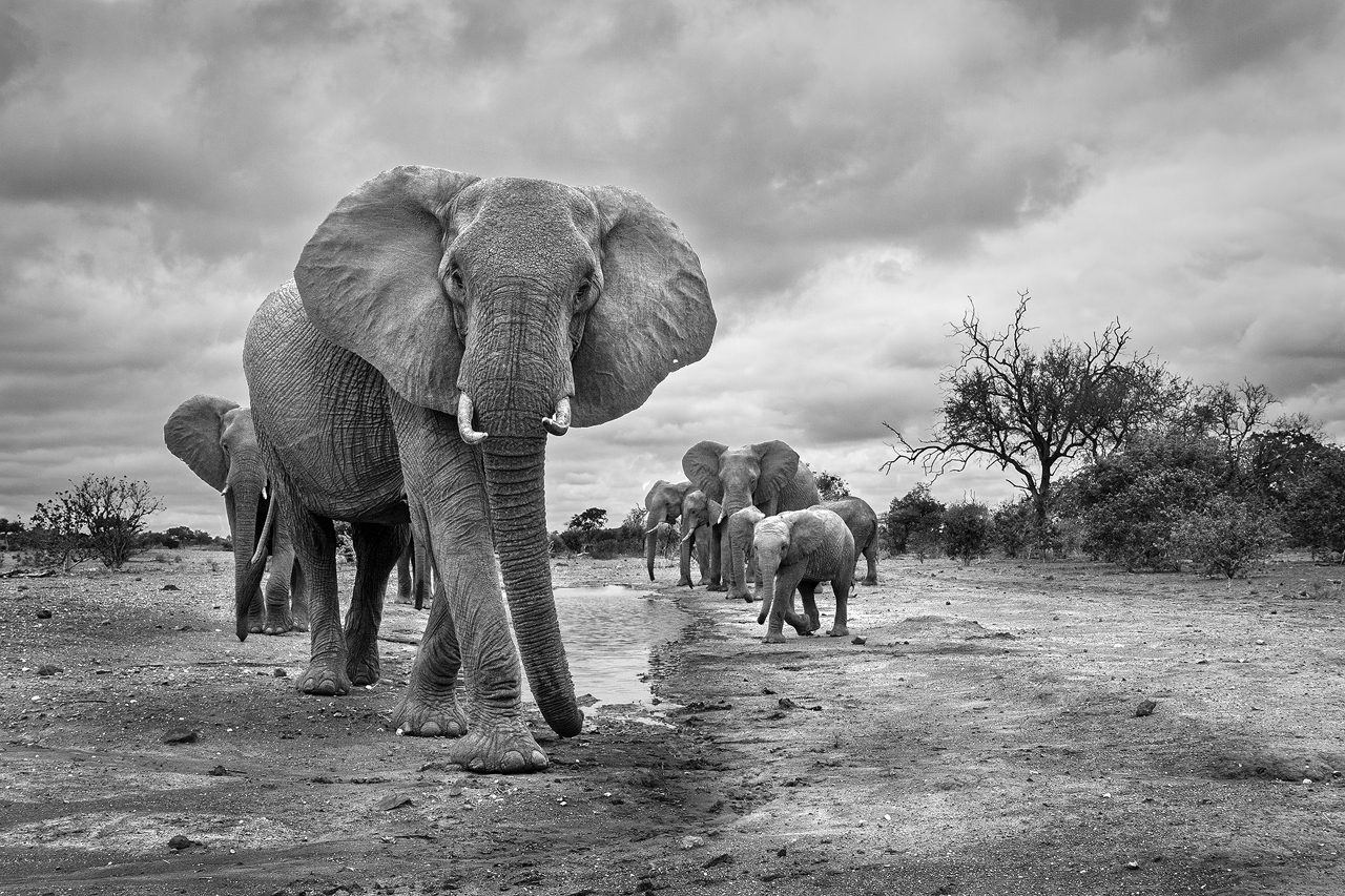 Black and white elephant herd walking