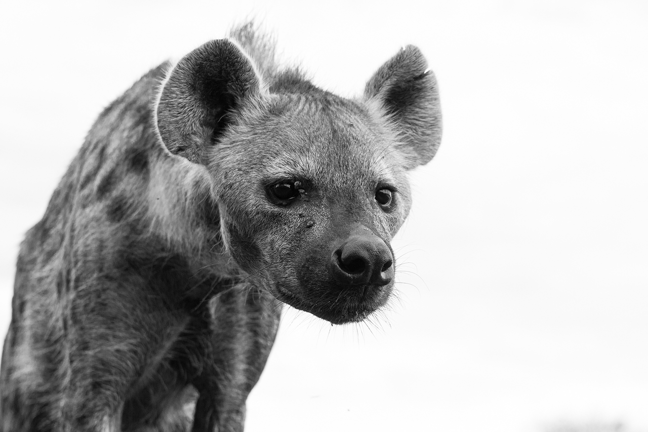 Black and white hyena looks down, low angle
