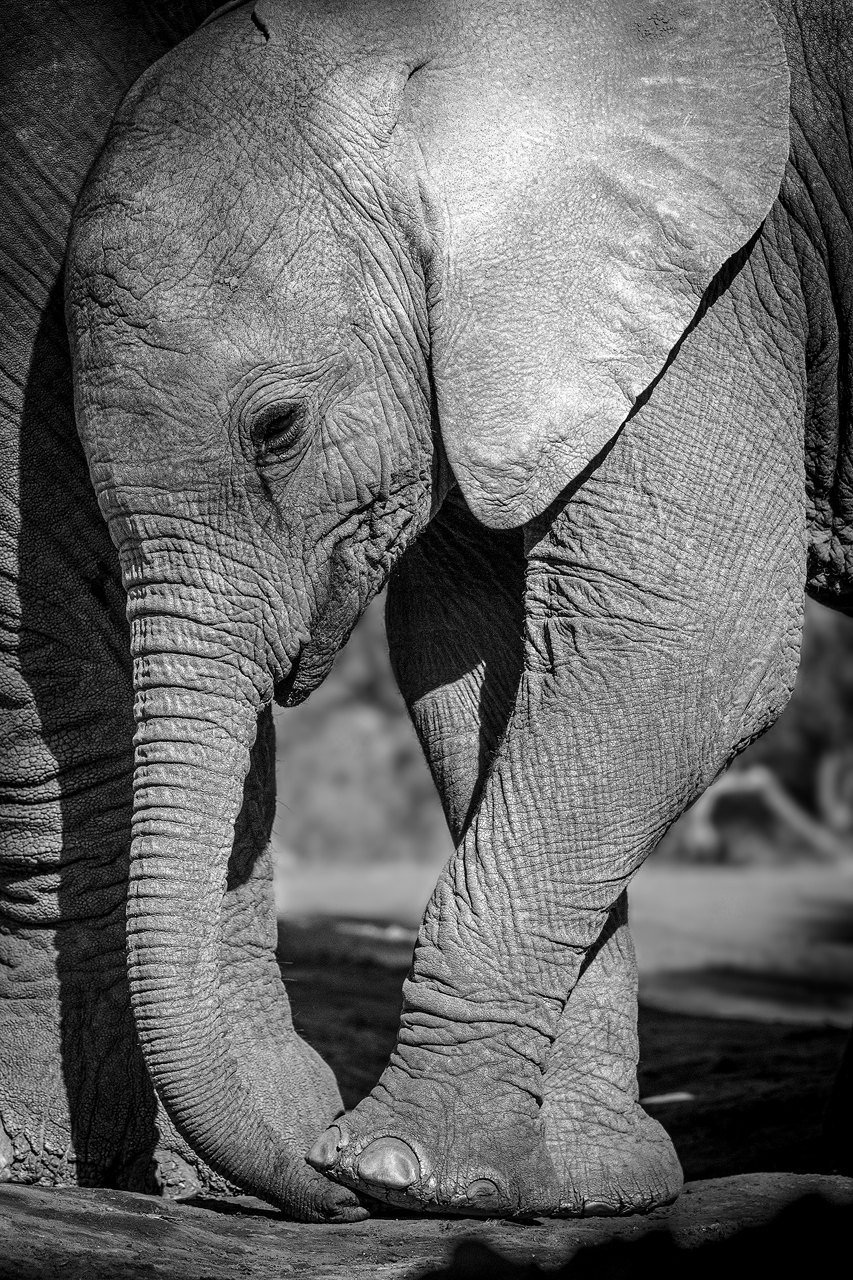 An elephant calf stands on its trunk