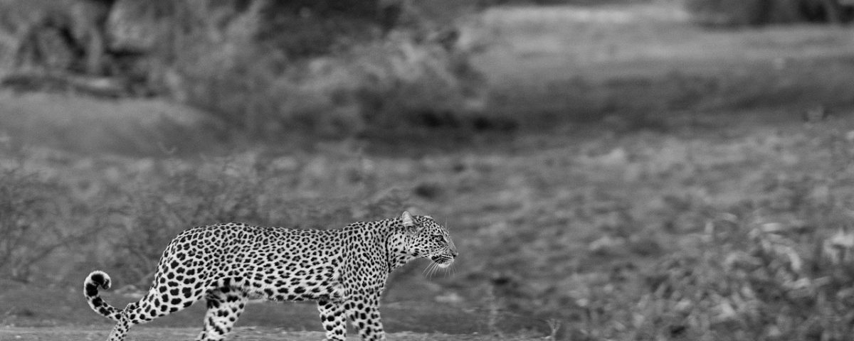 Black and white leopard running
