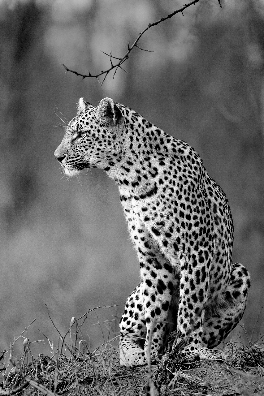 Black and white leopard on mound