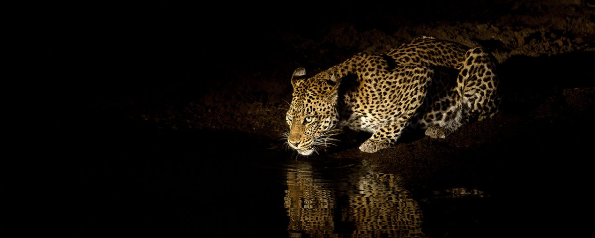 A leopard drinks at night
