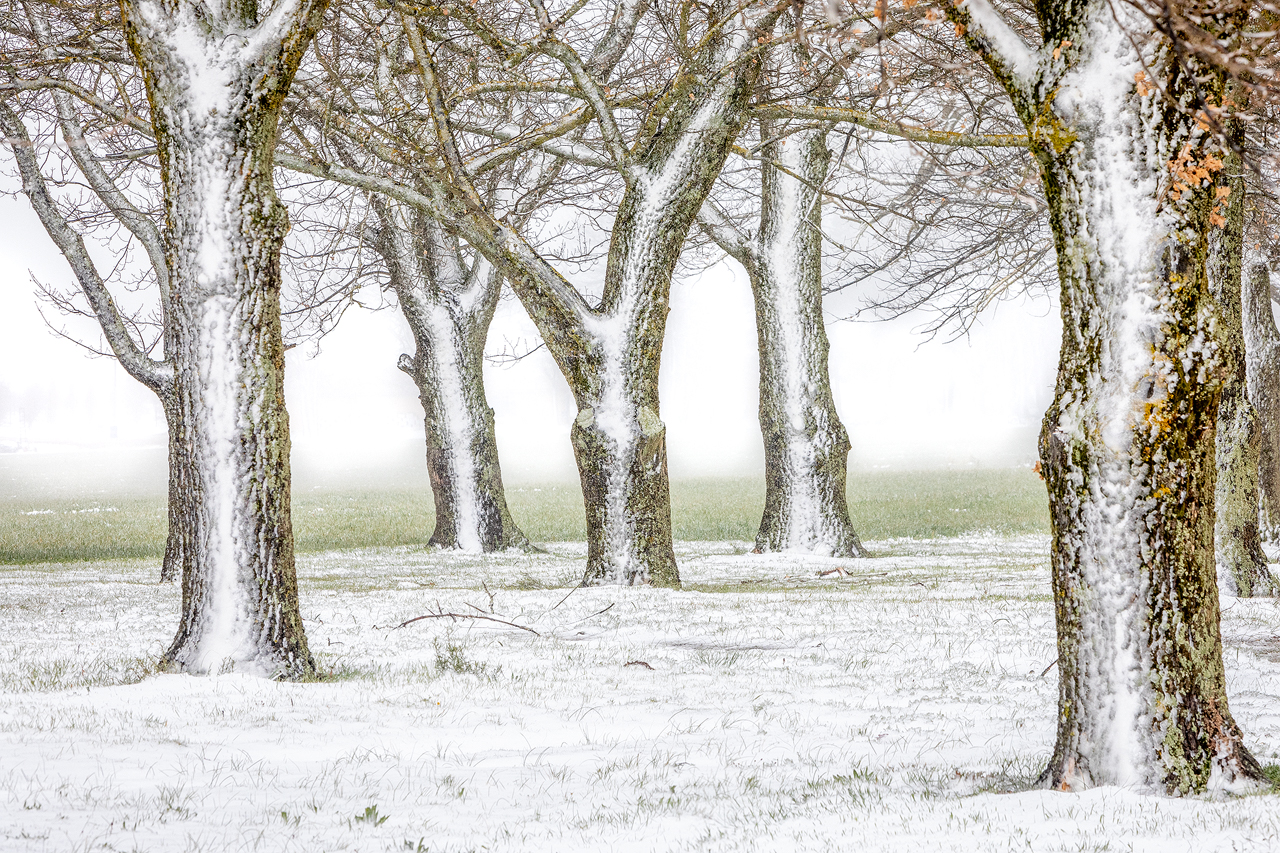 Grove of snow covered trees