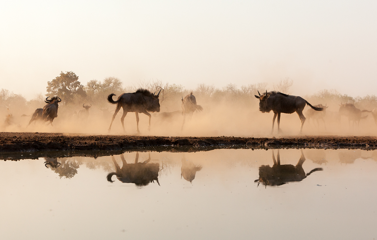 Silhouette and reflection of two wildebeest