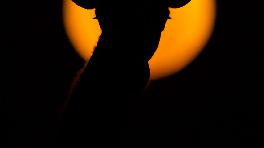 Giraffe silhouette against super moon