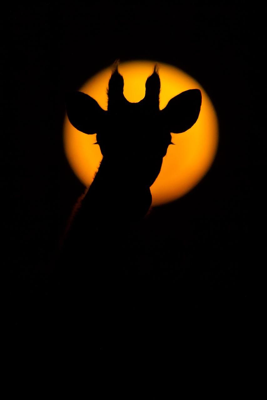 Giraffe silhouette against super moon