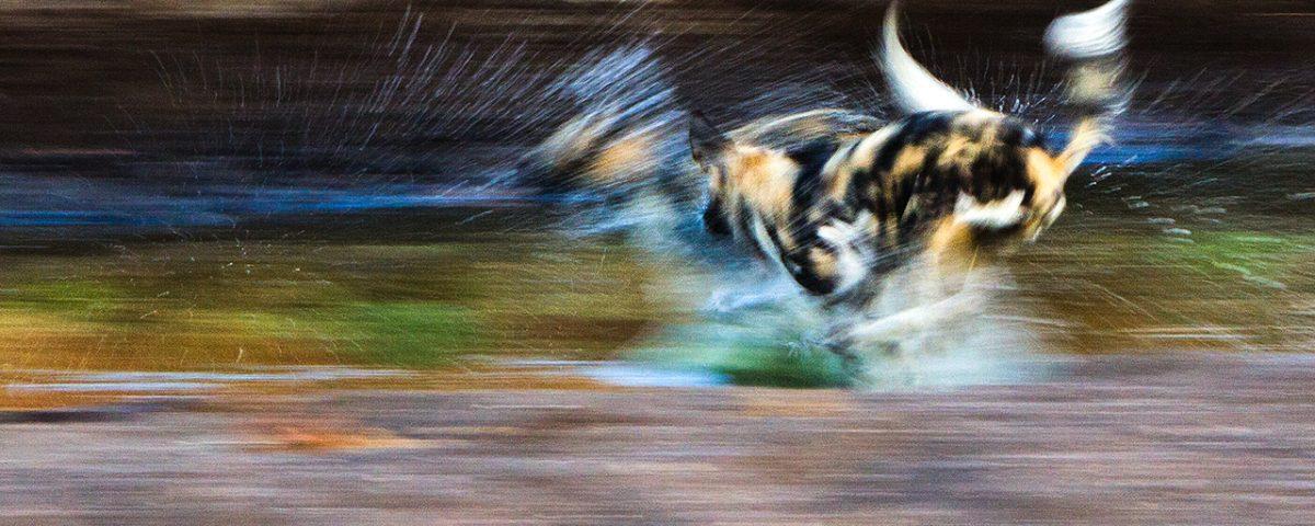 Wild dogs run through water, blurred