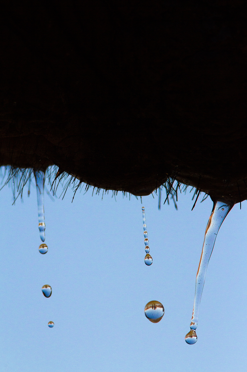 Water drops fall from the hair on an elephants chin