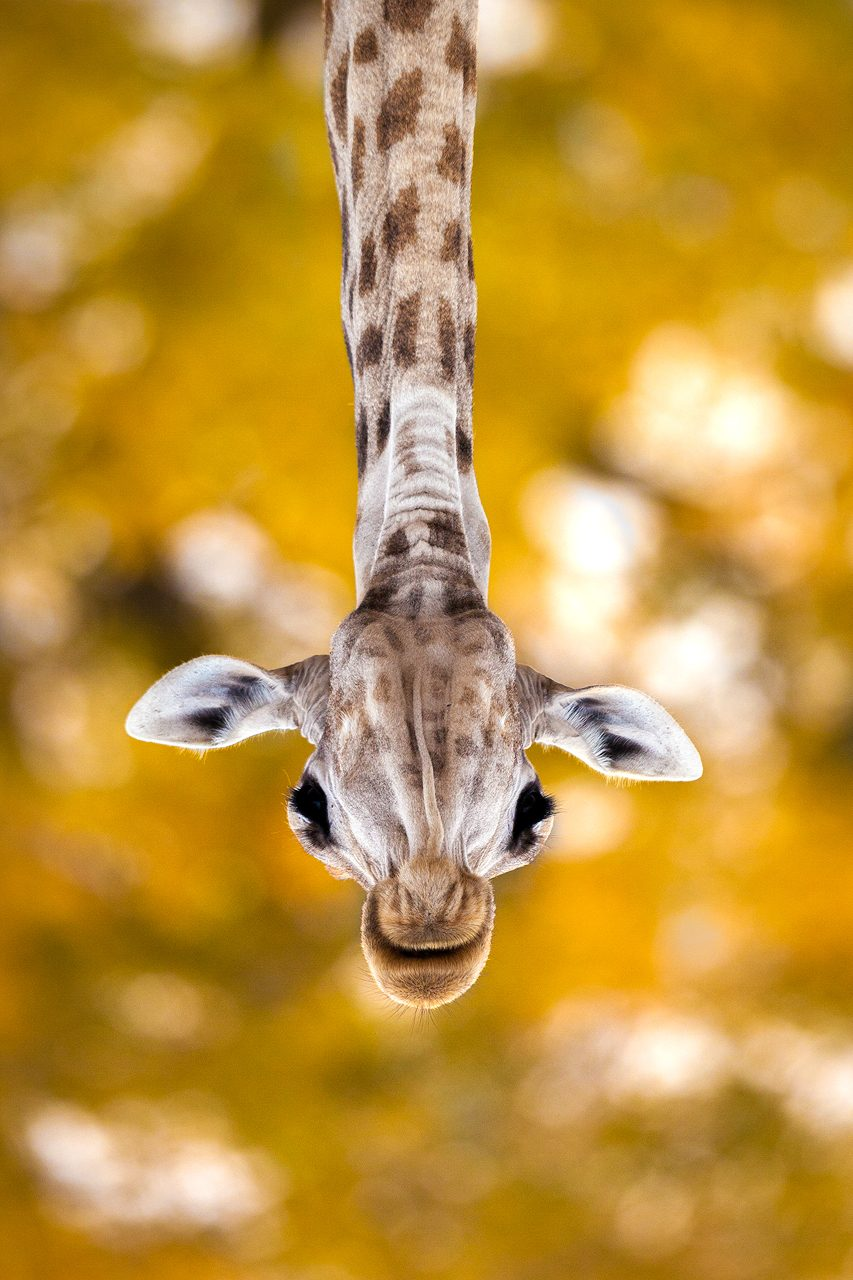 A giraffe photographed from below and inverted