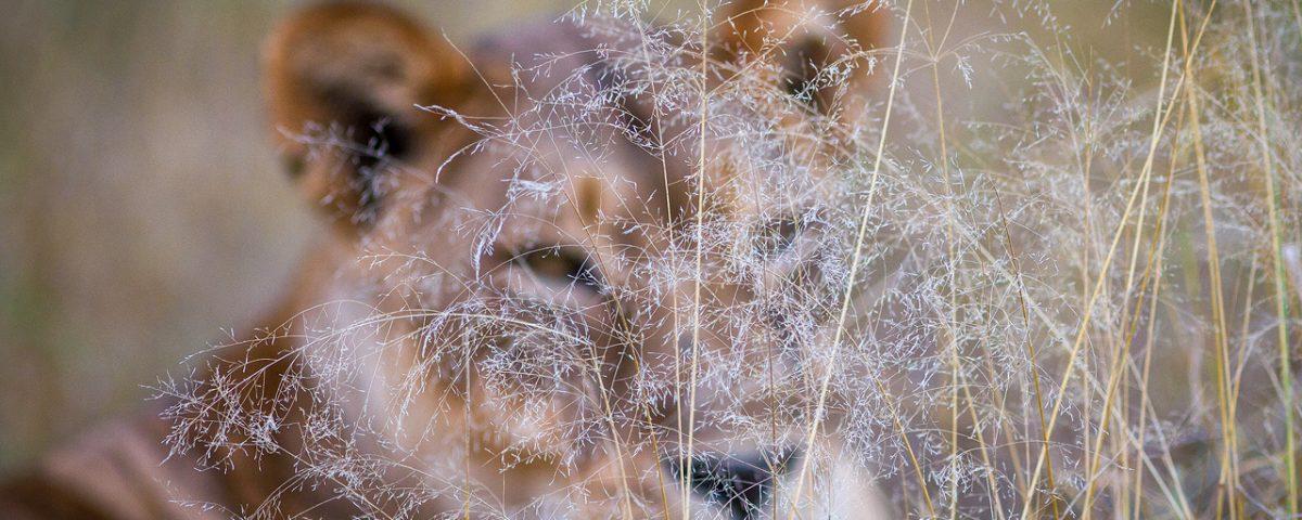 A lioness blurry behind grass