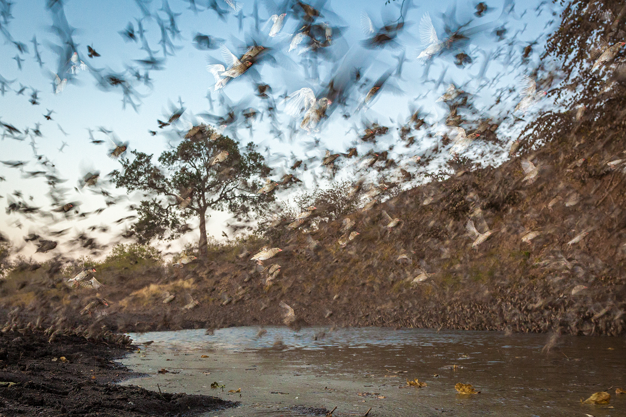 Red billed queleas flying in large numbers