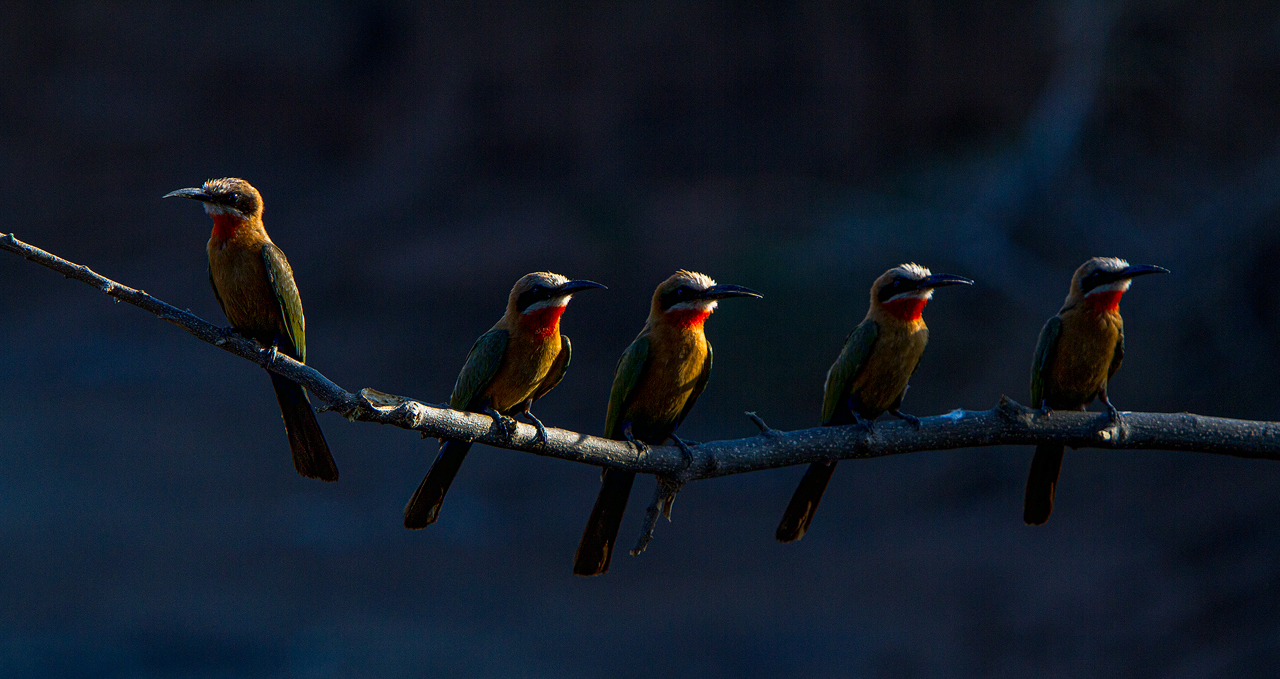 4 white fronted bee eater on a perch