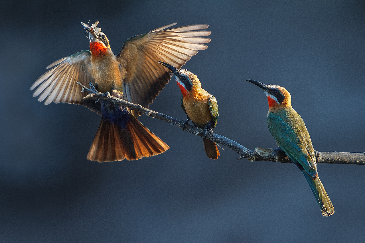 A white fronted bee eater lands with a bee in its beak