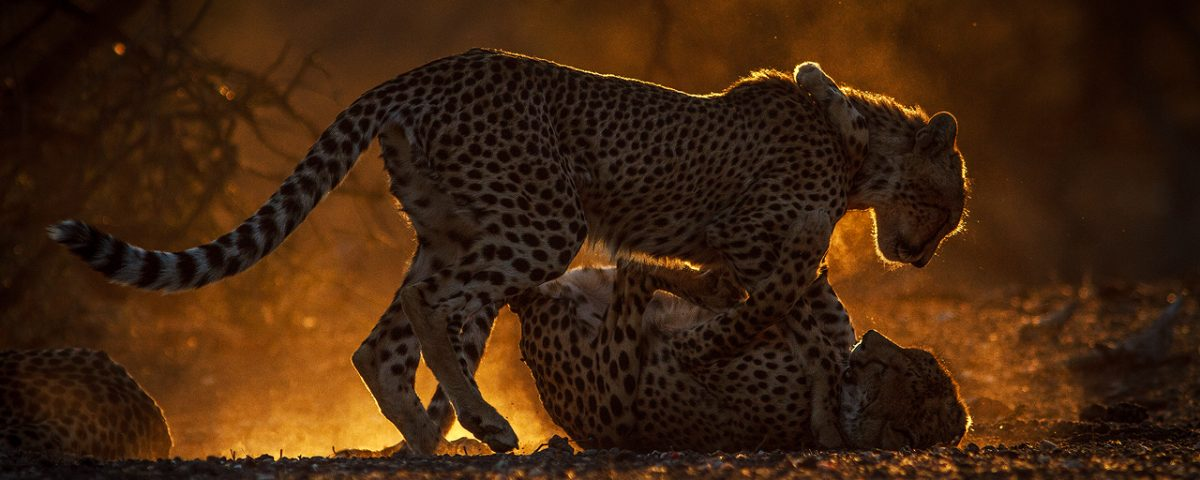 Young cheetahs play in golden light