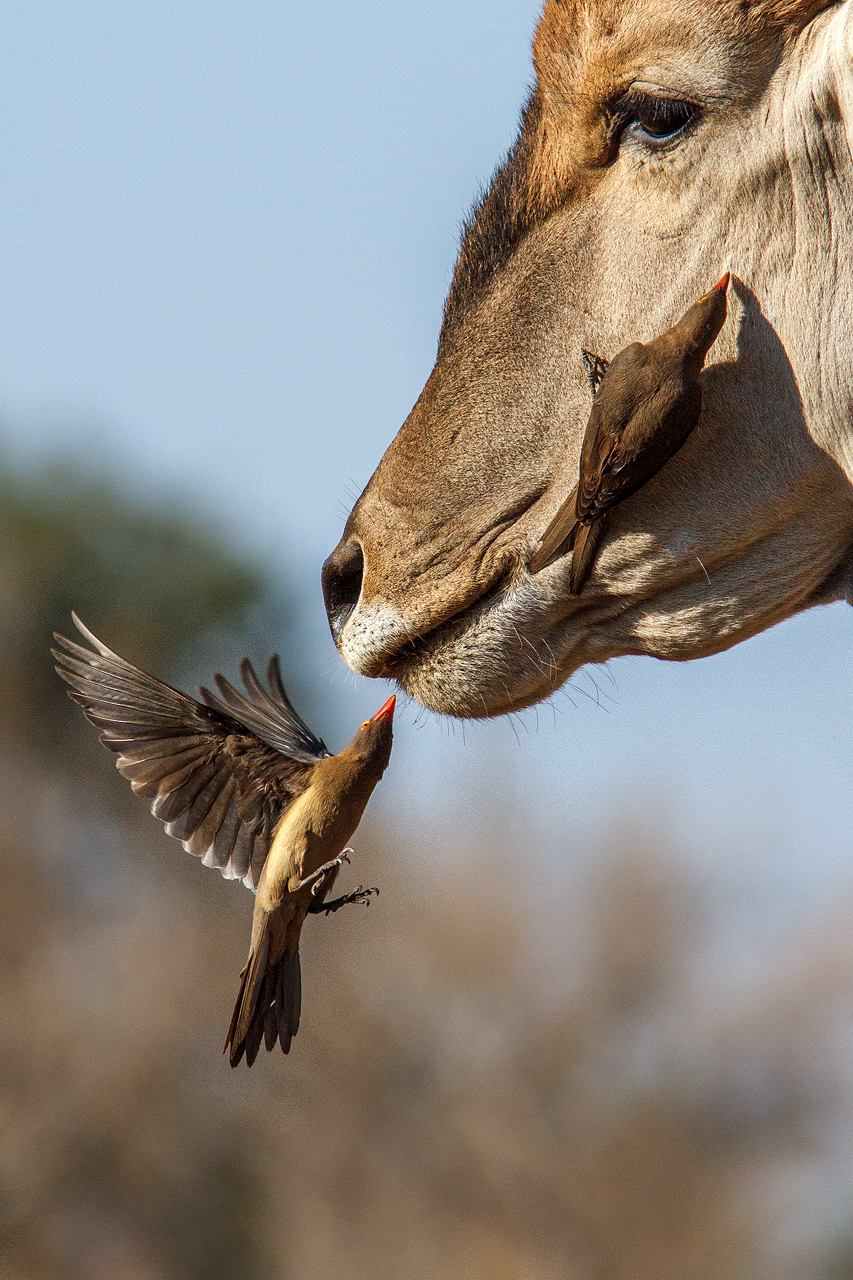 An oxpecker flies below an elands chin