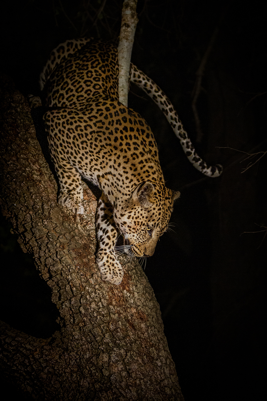 Leopard climbs down a tree at night